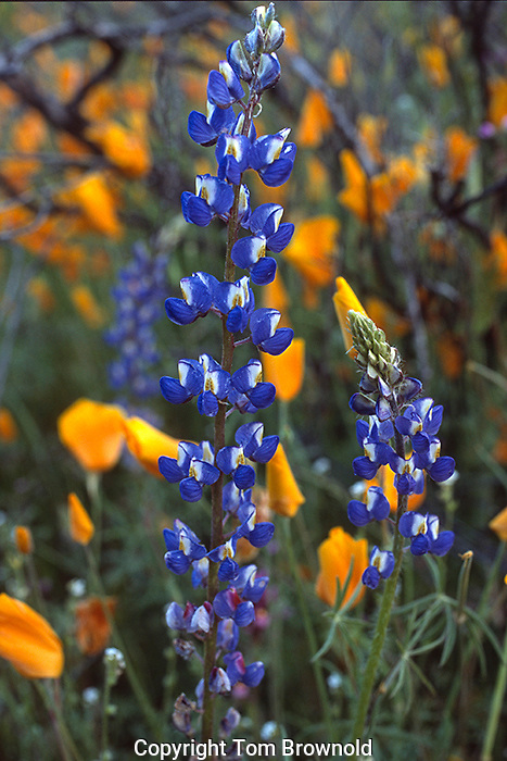 Lupins and Mexican Poppy <br /> Lupinus sparsiflorus and Eschscholtzia mexicana