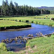 Elk, (Cervus elaphus) herd grazing on new grass shoots in field near stream. Early spring.