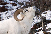A Dall sheep ram tests the air during mating season.