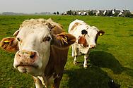 Nederland, Woerden, 3  sept 2005.Koeien.Gebied ten westen van Woerden, waar woningbouw het groene hart bedreigd. Huizen zijn op de achtergrond zichtbaar, er zijn bouwplannen voor dit gebied..  .Foto (c) Michiel Wijnbergh<br /> <br /> cow, cows, agriculture, dairy