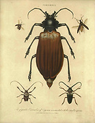 Cerambyx [Here as Cerambix] is a genus of beetles in the family Cerambycidae (longhorn beetles). They are commonly known as capricorn beetles. Handcolored copperplate engraving From the Encyclopaedia Londinensis or, Universal dictionary of arts, sciences, and literature; Volume IV;  Edited by Wilkes, John. Published in London in 1810