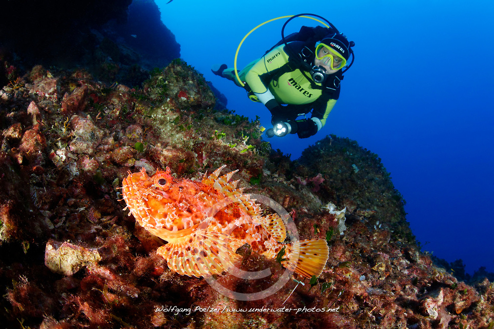 Scorpaena scrofa, Großer Roter Drachenkopf im Riff und Taucher, Red Scorpionfish in Coralreef and scuba diver, Adriatic Sea, Mediterranean Sea, Island Brac, Dalmatia, Croatia, MR Yes
