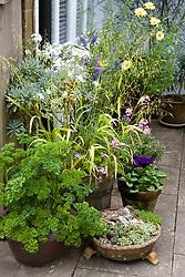 Collection of pots on the patio including parsley, sempervivums and Milium effusum 'Aureum'