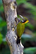 Greater yellow-naped woodpecker, Chrysophlegma flavinucha, Tongbiguan Nature Reserve, Dehong, Yunnan, China