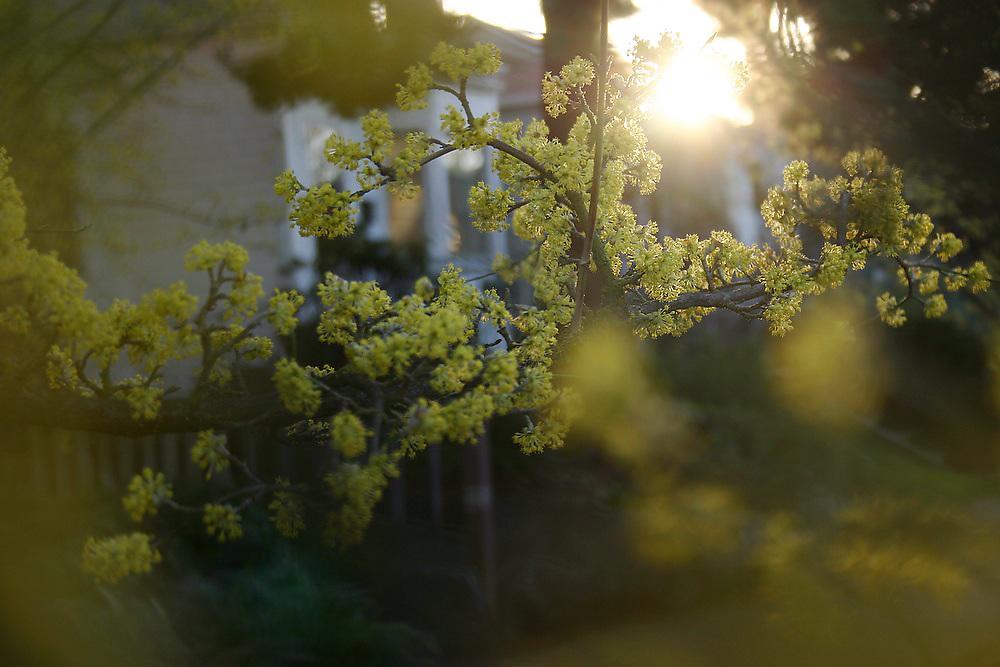 Soft, dreamy sunset light on a tree in bloom on a street in Seattle, Washington.