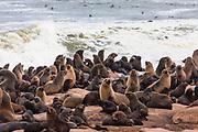A colony of cape fur seals (Arctocephalus pusillus) at Cape Cross seal colony, Skeleton Coast, Namibia