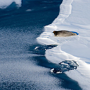 Bearded seal (Erignathus barbatus) lies near its hole on the Beaufort Sea ice pack. Alaska