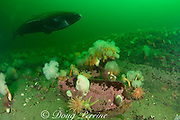 Greenland sleeper shark ( Somniosus microcephalus )<br /> swims over rocks adorned with plumose or frilled anemones<br /> ( Metridium senile ) northern red anemone<br /> ( Tealia felina or Urticina felina ) sea stars  whelks  urchins  etc.<br /> St. Lawrence River estuary Canada<br /> (this shark was wild & unrestrained; it was not hooked<br /> and tail-roped as in most or all photos from the Arctic)