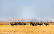 Elephants on their way to the mashes in Amboseli National Park, Kenya.