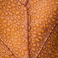 """Dew Drops On Fallen Oak Leaf"" - Condensation from a heavy morning dew covers a fallen oak leaf at Croton Point Park, Croton-On-Hudson, NY. NANPA 2019 Showcase, Top 250."