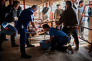 A professional butcher (in blue overalls) holds the bleeding pig with a hook as a man is stirring the collected blod in traditional way pig slaughtering.  Doneztebe (Basque Country). December 08. 2016. The slaughter traditionally takes place in the autum and early winter and the work often is done in the open. (Gari Garaialde / Bostok Photo)
