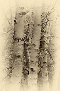 Sepia toned grouping of Birch Trees