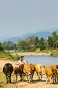 09 MARCH 2013 - VANG VIENG, LAOS:  A woman drives her dairy cows along the river bank of the Nam Song River in Vang Vieng, Laos. PHOTO BY JACK KURTZ