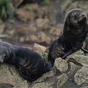South Georgia Fur Seal (Arctocephalus tropicalis gazella) pups. South Georgia Island