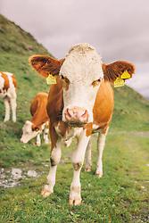 THEMENBILD - ein Fleckvieh (Kuhrasse) auf einer Almwiese, aufgenommen am 29. September 2019, Piesendorf, Österreich // a Fleckvieh (cattle breed) on an alpine meadow on 2019/09/29, Piesendorf, Austria. EXPA Pictures © 2019, PhotoCredit: EXPA/ Stefanie Oberhauser