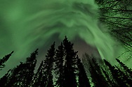 The Northern lights dance above spruce and birch trees just outside of Fairbanks, Alaska