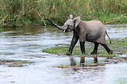 Young African elephants (Loxodonta africana) crossing a river in Kruger NP, South Africa.