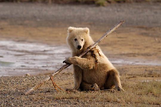 Alaskan Brown Bear (Ursus middendorffi)  Cub playing with stick. Cute. Katmai National Park. Alaska. ..Alaskan Brown Bear (Ursus middendorffi)  Cub playing with stick. Cute. Katmai National Park. Alaska.