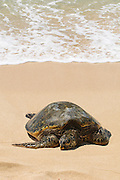 A honu, Hawaiian Green Sea Turtle, rests on the sandy shore of a Hawaiian beach.