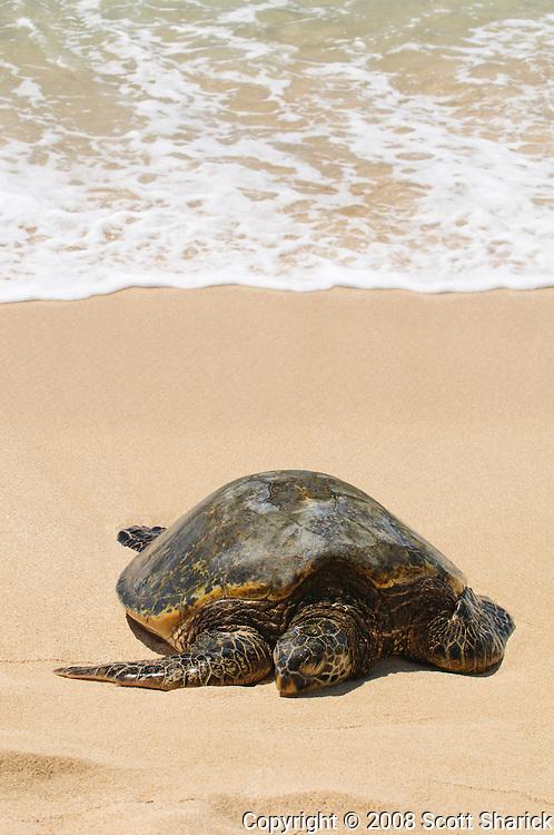 A honu, Hawaiian Green Sea Turtle, rests on the sandy shore of a Hawaiian beach.