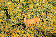 Mule Deer in a field of Arrow-leaved Balsamroot. Rocky Mountain Front, Montana.