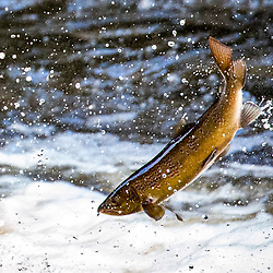 Salmon leap this morning on the River Carron