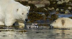 Polar bears (Ursus maritimus) attacking Glaucous Gull (Larus hyperboreus), Spitsbergen, Svalbard