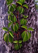 Virginia Creeper, Parthenocissus quinquefolia, National Audubon Society's Corkscrew Swamp Sanctuary, Florida.