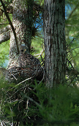 Juvenile Red-Shouldered Hawk (Buteo lineatus) at the Nest, Corkscrew Preserve, Naples, Florida, US
