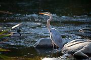 Great Blue Heron (Ardea herodias), Glendale Narrow, Los Angeles River, California, USA
