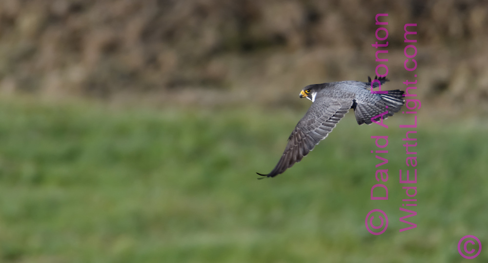 Peregrine falcon flying low after missed strike at prey, Greater Yellowstone Ecosystem, © David A. Ponton