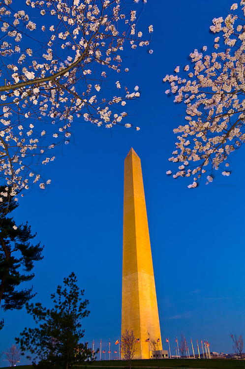 Cherry blossoms frame the Washington Monument in predawn light, Washington D.C., U.S.A.