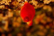 Sea Potato (Halocinthya papillosa) | Rote Seescheide (Halocinthya papillosa)