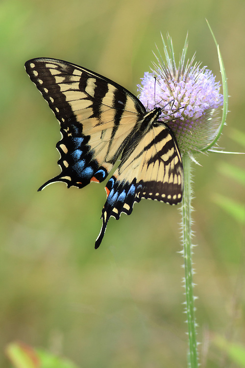 """Yellow Swallowtail butterfly on teasel<br /> <br /> Available sizes:<br /> 12"""" x 18"""" print <br /> <br /> See Pricing page for more information. Please contact me for custom sizes and print options including canvas wraps, metal prints, assorted paper options, etc. <br /> <br /> I enjoy working with buyers to help them with all their home and commercial wall art needs."""