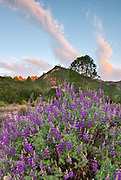 Lupine and Cloud Formations with High Peaks in the Distance, Pinnacles National Park, California