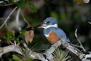 Ringed Kingfisher (female).
