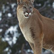 Portrait of an adult mountain lion, Utah. Captive Animal