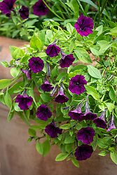 Petunia 'Littletunia Purple Blue'