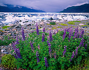 Nootka lupine, Lupinus nootkatensis, on the rocky shore of Kageet Point, ice-strewn Taan Fiord of Icy Bay beyond, Wrangell-Saint Elias National Park and Wilderness, Alaska.