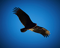 Turkey vulture soaring in the afternoon sun. Outdoor Autumn Nature in New Jersey. Image taken with a Nikon D4 camera and 500 mm f/4 VR lens (ISO 200, 500 mm, f/4, 1/3200 sec).