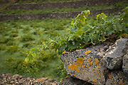 Vines grow along a rock wall with a vineyard in the background, Pantelleria, Sicily, Italy.