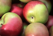 Close up selective focus photograph of a pile of McIntosh Apples