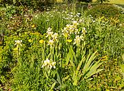 English country garden border summer flowers Welsh poppy yellow iris plants, Wiltshire, England, UK