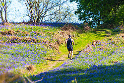 © Licensed to London News Pictures. 19/05/2020. Llandrindod Wells, Powys, Wales, UK. A man exercises by running through a bluebell wood on a beautiful warm sunny evening near Llandrindod Wells in Powys, Wales, UK. Photo credit: Graham M. Lawrence/LNP