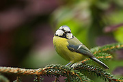 Blue tit perching on pine branch and looking at camera.