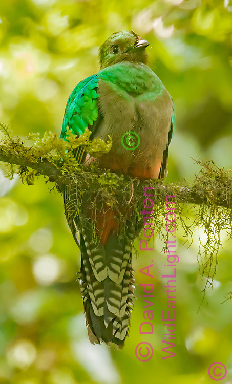 Quetzal adult female  perched on a mossy branch in a dense cloud forest, Monteverde Cloud Forest Reserve, Costa Rica, © David A. Ponton