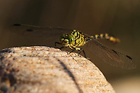 Male Yellow Clubtail (Gomphus simillimus) resting on stone at the river Allier. Pont-du-Chateau, Auvergne, France.