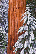Giant Sequoia (Sequoiadendron giganteum) in winter, Giant Forest, Sequoia National Park, California USA