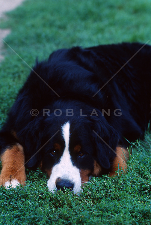Bernese Mountain dog resting on green grass