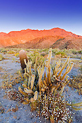 Morning light on cholla and barrel cactus, Anza-Borrego Desert State Park, California USA
